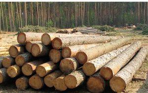 Хвойные породы деревьев северного региона